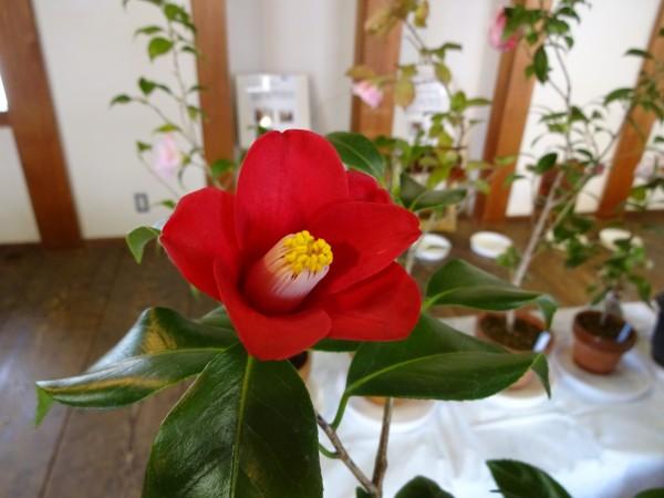 第20回 松山城二之丸つばき名花展