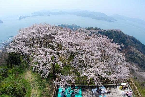 いわぎ桜まつり
