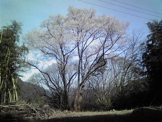 山桜・お花見ハイキング