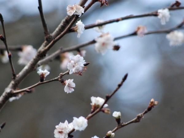 マイントピア別子冬の桜まつり