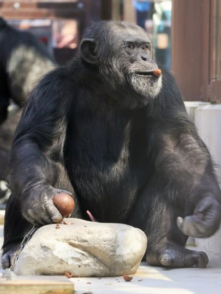 チンパンジーのチャレンジタイム
