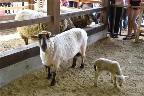 第9回 羊大好き 毛刈り大会
