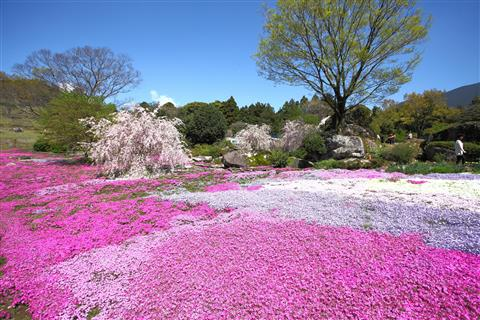 ※開催中止※山本牧場のしば桜まつり2020