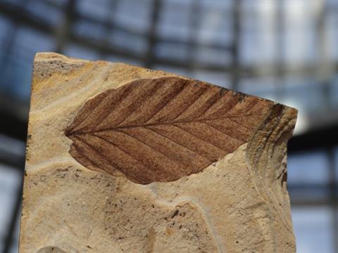 【新春イベント】ワークショップ「化石を発掘しよう!~木の葉化石編~」