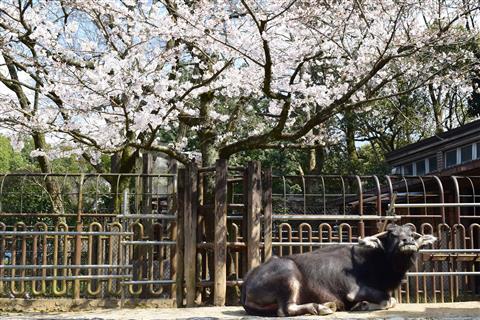 ※臨時休園※とべ動物園で動物とお花見をしよう