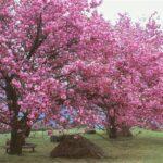 翠波高原のお花見
