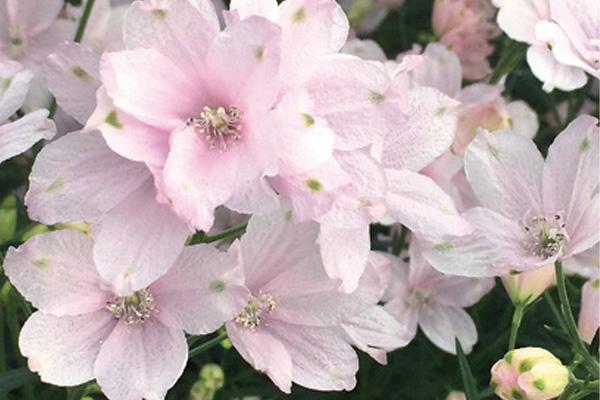 愛媛県オリジナルの花「さくらひめ」の鉢物購入キャンペーン